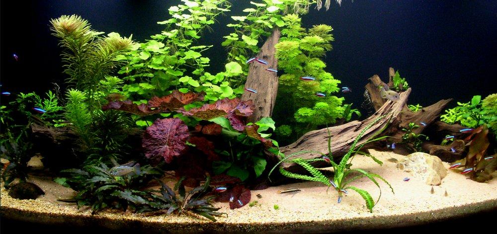 Pelvicachromis Taeniatus Wouri Male PicturePelvicachromis Taeniatus Wouri