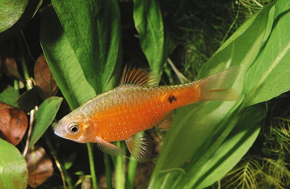 Den vackra praktbarben (Pethiaconchonius) trivs i likhet med de flesta andra i denna grupp bäst i svagt surt vatten.