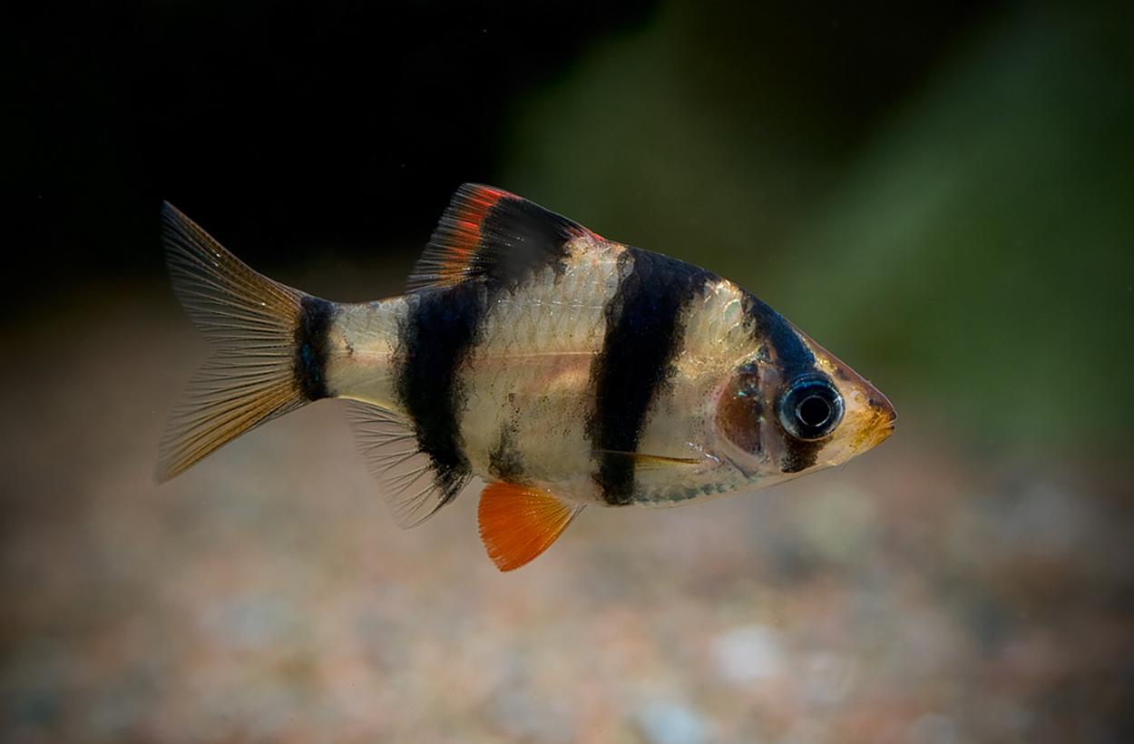 Tigerbarben (Barbus tetrazona) är den vanligaste barben, den är dock fenbitare och skall därför inte hållas ihop med fiskar som t.ex. gurami.