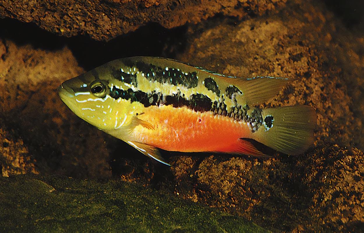 Trichromissalvini  är en vacker parbildande och rejält aggressiv ciklid. Foto: Ad Konings.