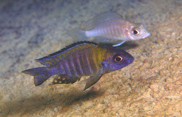 Aulonocara-hanar är betydligt färggrannare än honor och yngel som antigen är silverfärgade eller brunaktiga (beroende på art). Fotot visar en A. sp.