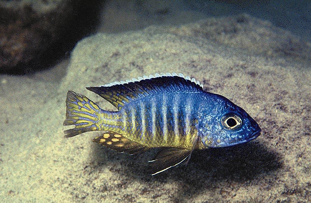 Aulonocara hueseri blir aldrig större än 10 cm i sin naturliga miljö. På grund av felaktig kost kan de bli uppemot 15 cm i akvarium. Foto: Ad Konings