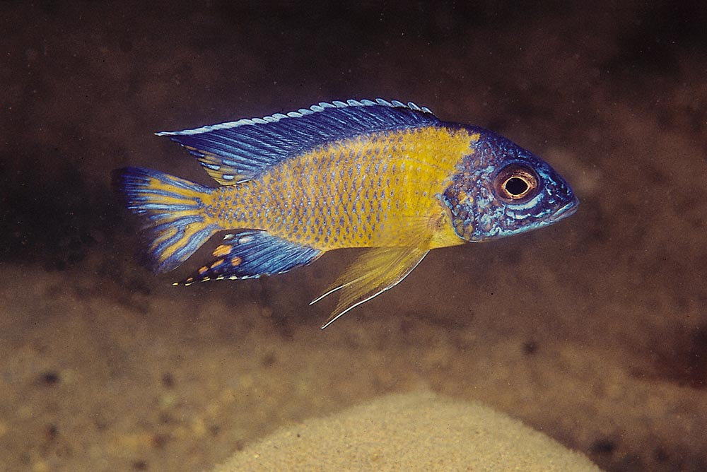 Det finns många Aulonocara stuartgranti-varianter som färgmässigt skiljer sig ganska mycket åt. Fotot visar