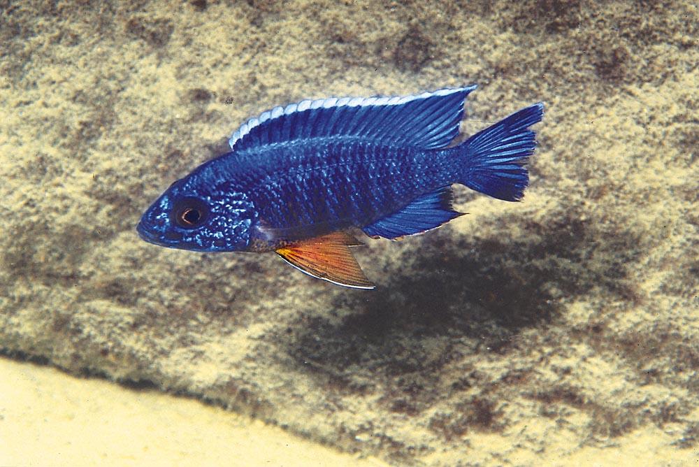 Aulonocara stuartgranti från Cóbué är nästan enfärgat blå. Foto: Ad Konings