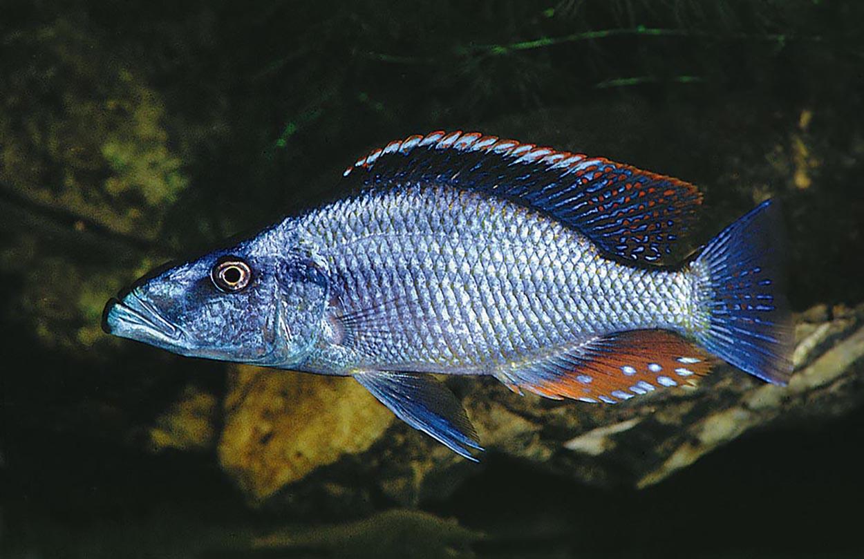 Dimidochromis compressiceps brukar lite orättfärdigt kallas för ögonätaren. Den är dock en utpräglad rovfisk. Foto: Ad Konings