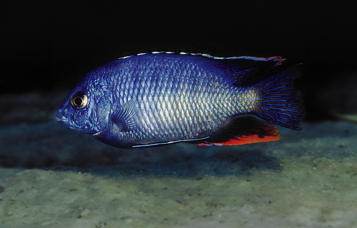 Det finns en mängd olika färgvarianter av Protomelas taeniolatus, på fotot visas varianten från Chinyankwazi. Foto: Ad Konings