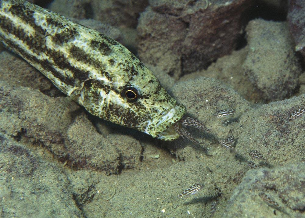 Nimbochromis polystigma-yngel som vaktas av honan. Foto: Ad Konings