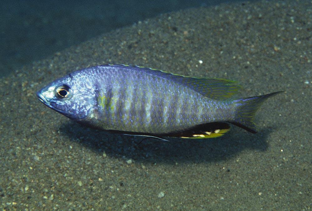 Nyassachromis microcephalus-hane från Selewa. Honorna är silverfärgade. Foto: Ad Konings