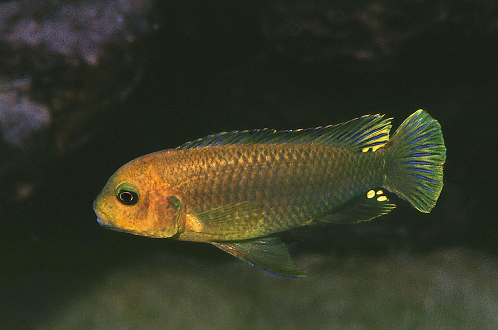 Lodotropheus sprengerae brukar kallas för rostciklid. Foto: Ad Konings