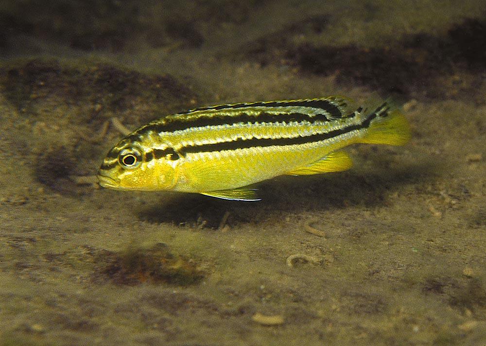 Melanochromis auratus-honans och ynglens färgteckning skiljer sig mycket från hanens. Foto: Ad Konings