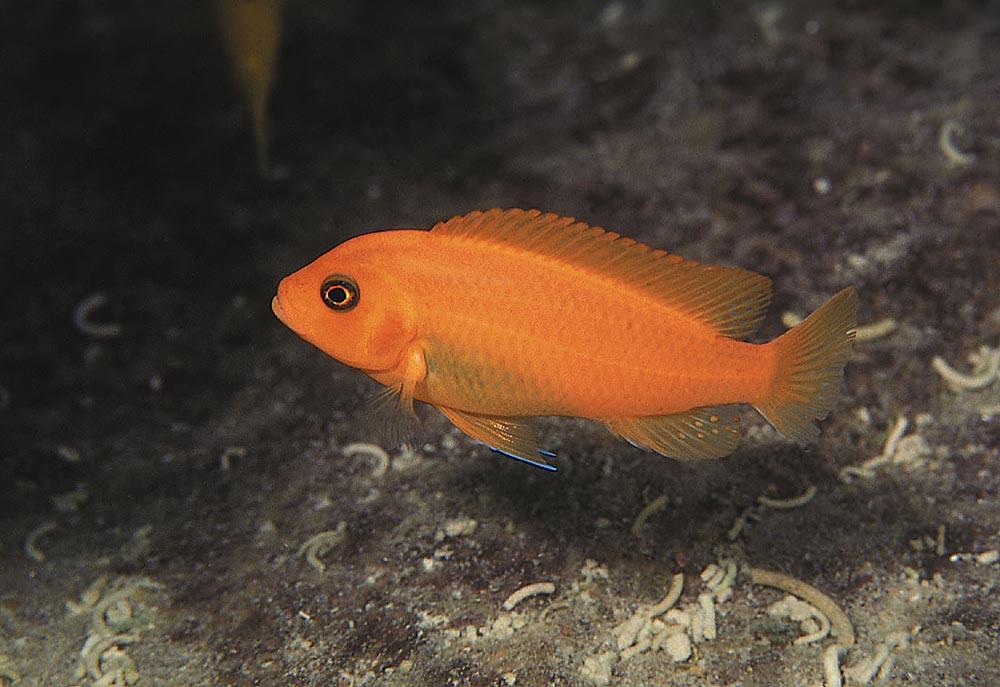 Rödzebran från Minos Reef räknas nu till släktet Metriaclima. Fotot visar en Metriaclima estherae-hona. Foto: Ad Konings