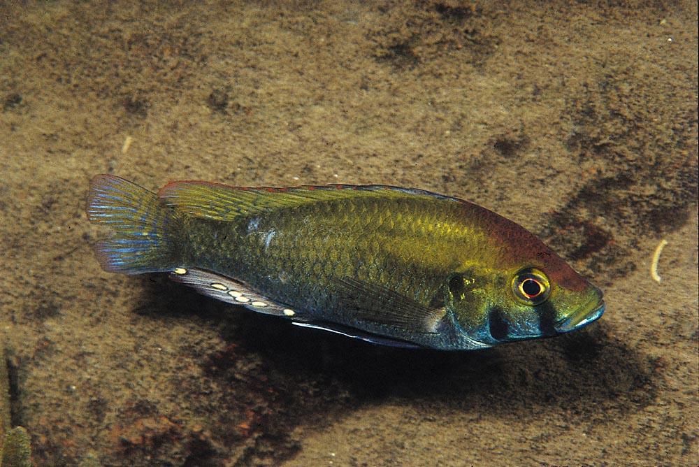 Astatotilapia calliptera hittar man inte bara i Malawisjön utan också i områden runt sjön. Foto: Ad Konings