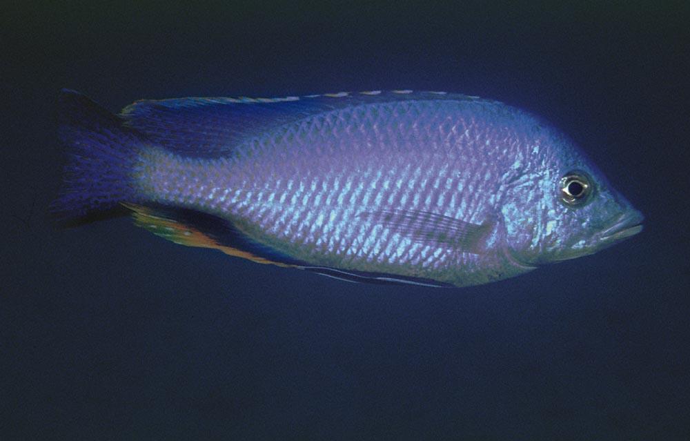 Hemitilapia oxyrhynchus är en av få växtätande malwiciklider. Foto: Ad Konings