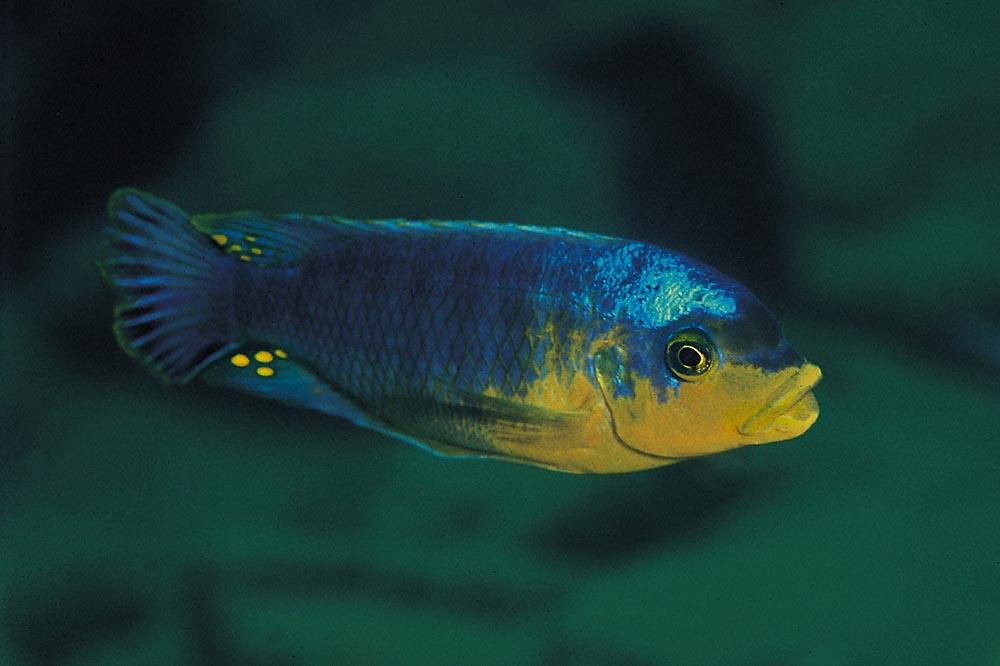 Alla Petrotilapia (fotot visar P. sp.