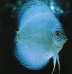 <i>Symphysodon</i> sp. 'solid turquoise hi fin blue diamond'