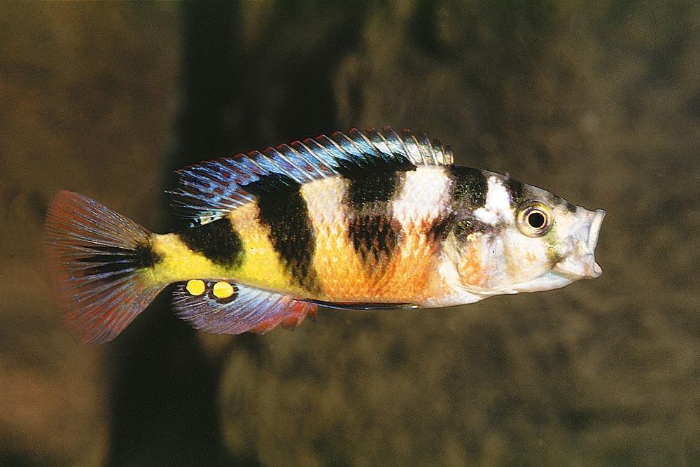 Denna lilla vackra fisk brukar kallas för Victoria-sebra men den kommer faktiskt ursprungligen från Kiogasjön och området däromkring. Det vetenskapliga namnet är Astatotilapia latifasciata.