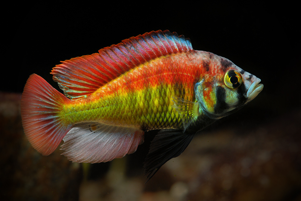 Haplochromis sp. 'red back scraper'