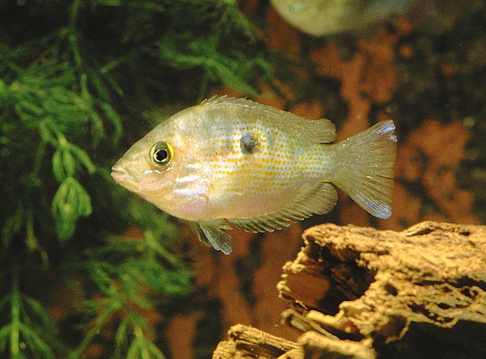 Etroplus maculatus är en av få asiatiska ciklider som funnit en plats i akvariehobbyn. Den trivs, i likhet med de andra arterna i detta släkte, bäst i bräckvatten.