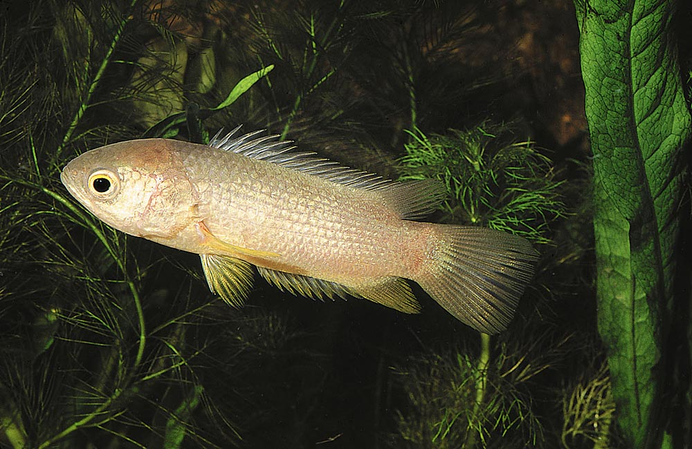 """Den asiatiska klätterfisken (Anabas testudineus) har en minst sagt udda egenskap för att vara fisk. Den kan """"gå"""" på land."""