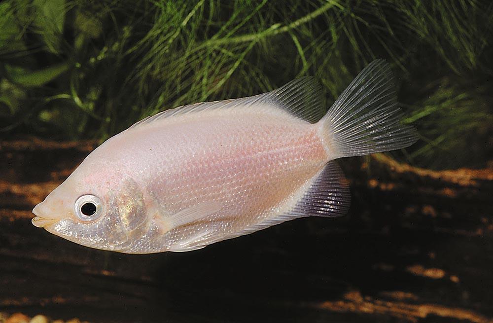Kyssguramin (Helostoma temmicki) är en populär akvariefisk som alltför ofta hålls i för små akvarier. Den måste ha ett akvarium som minst innehåller 700 liter och är 200 cm långt.