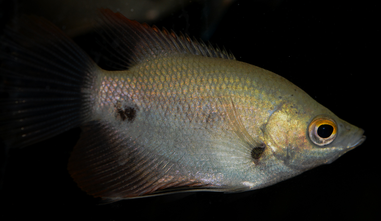 De flesta labyrintfiskar är mycket lämpliga som akvariefiskar, eftersom de är små och vackra och tåliga. Det finns dock några undantag, som jätteguramin. Bilden visar Rödstjärtad jättegurami (Osphronemuslaticlavius). Foto: Kjell Fohrman.