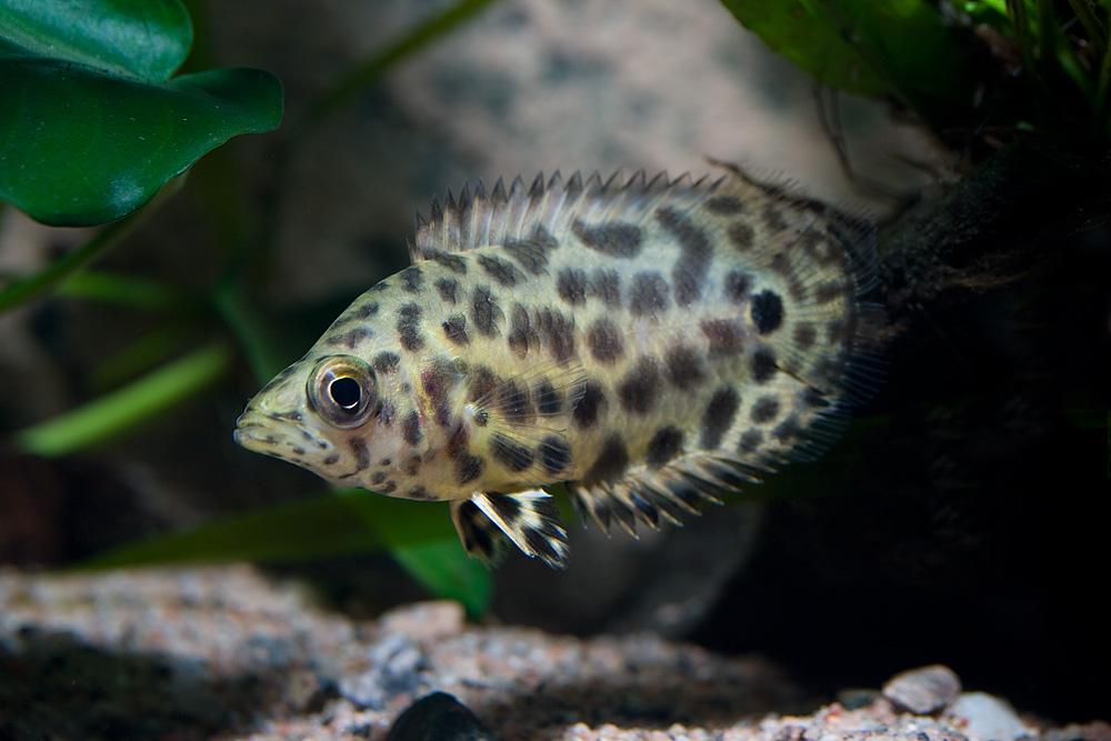 Ctenopoma acutirostre är en labyrintfisk som sällan förekommer i handeln.