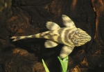 Candy striped dwarf pleco, L015