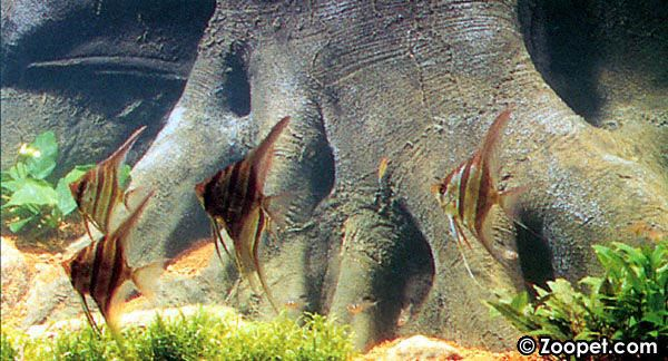 Ett stim med majestätiska altum-skalarer (Pterophyllum altum) i ett akvarium är en vacker syn.