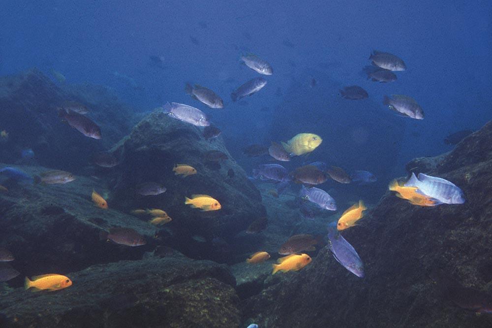 Stim med planktonätande mbuna vid Minos Reef. Foto: Ad Konings