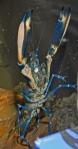 <i>Cherax</i> sp. 'blue moon'