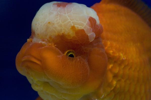 Grand Champion - guldfisk