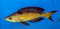 A_M_ssa-Cyprichromis_microlepidotus_kasai_DSC_1066.jpg