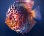 A_Discus_Spotted_DSC_0441.jpg