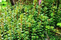 A_Ammania_sp_bonsai_Tropica_05_DSC_1992.jpg