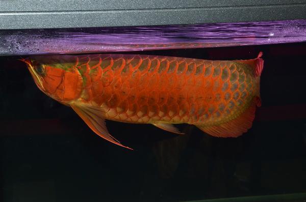 Fisktävling.Dragon Fish Large. Class 1. 1 plats. Grand Champion..