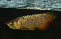 Fiskt_vling_Dragon_Fish_Small_Class_2_1_plats.JPG
