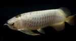 A_Dragon_Fish_A_Large_3-1_DSC_0692.jpg