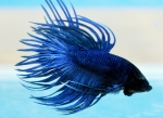 Fisktävling. Betta splendens. Klass C02. Plats 1. Grand Champion. Grupp C-champion