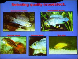 https://www.zoopet.com/bilder/data/697/medium/003_Breeze_Apistogramma_breeding_0067.jpg