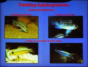 https://www.zoopet.com/bilder/data/697/medium/003_Breeze_Apistogramma_breeding_0076.jpg