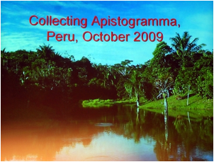 https://www.zoopet.com/bilder/data/697/medium/006_Breeze_Collecting_Apistogramma_Peru_0174.jpg